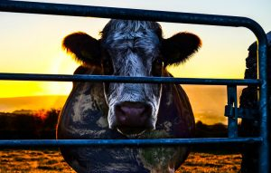 12. Cowspiracy